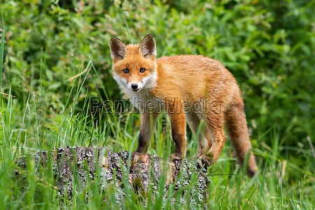 cute potrait of young red fox