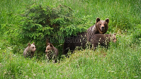 family of brown bearmoving on pasture