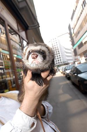 marten or ferret a rodent