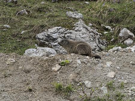 a marmot a rodent animal