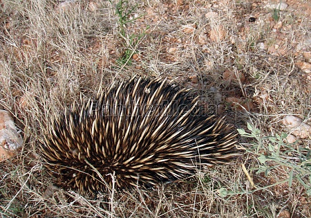 a porcupine rodent with spines