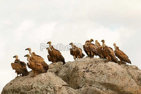 vultures on a big rock with