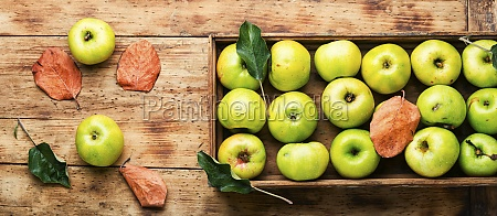 harvest green apples