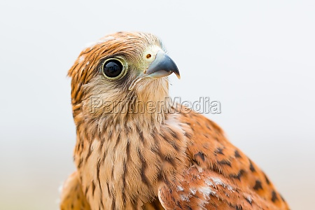 young kestrel with a beautiful plumage