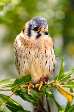 beautiful profile of a kestrel in