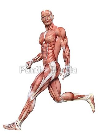 3d rendering male anatomy figure on