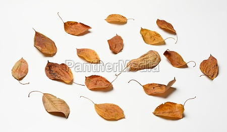 dry golden cherry leaves on white