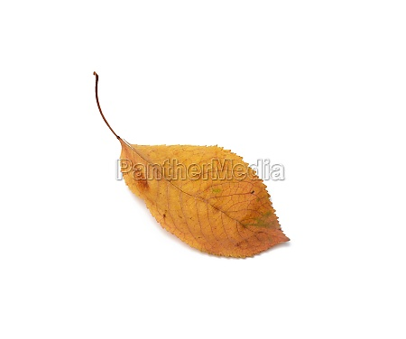 dry cherry leaf isolated on white