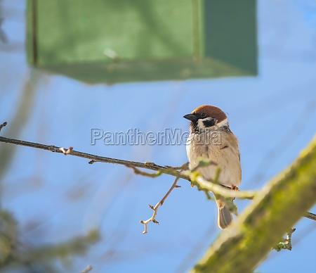 eurasian tree sparrow sitting on a