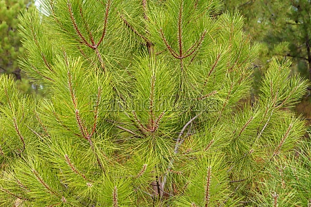 pine trees top and a cloudy