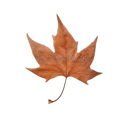 macro of a dry brown leaf