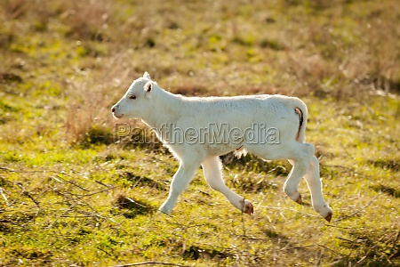 nice white calf on the green