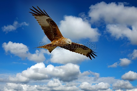 beautiful eagle flying over the sky