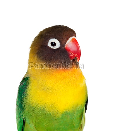 yellow parrots with red beak