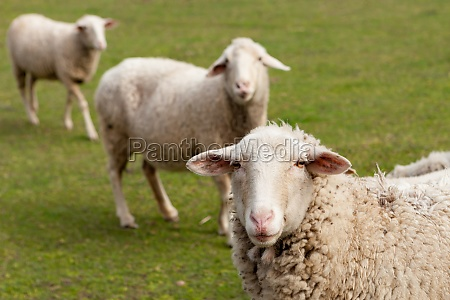 sheeps grazing in the meadow with