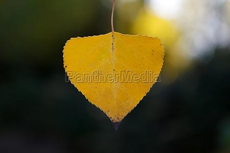 close golden leaves