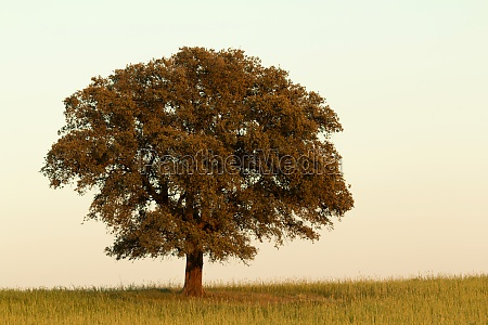 solitary holm oak rounded of fog