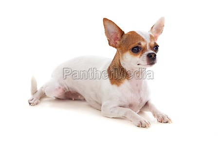 small brown and white dog