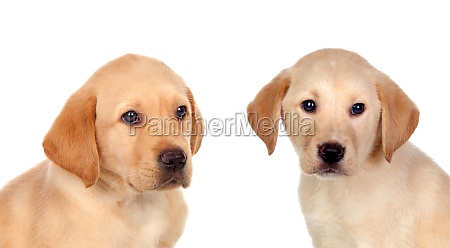 cute small lab dogs
