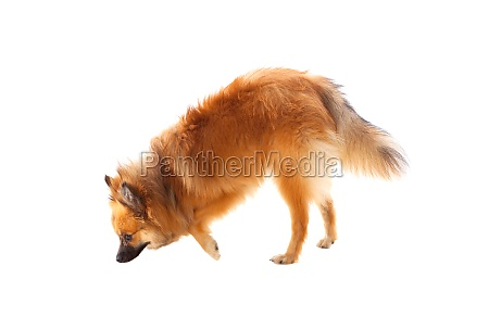 beautiful brown pomeranian dog