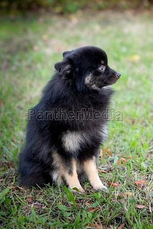 cute black dog with a fluffy