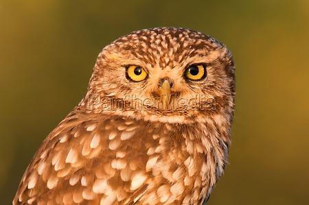cute owl small bird with big