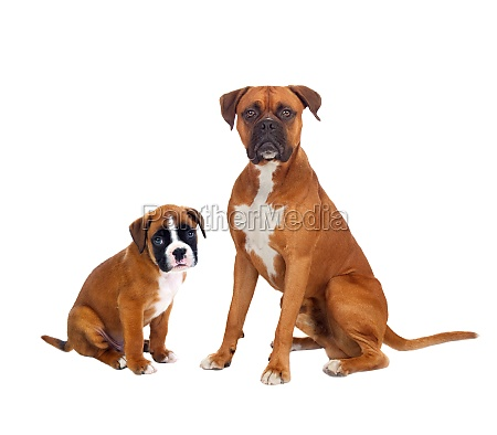 family boxer dogs