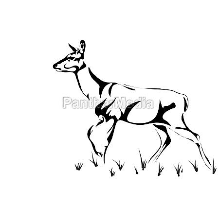 red deer female