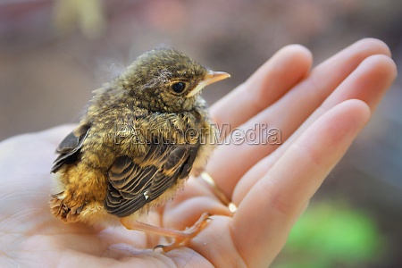 little chick robin redbreast sitting on