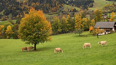 grazing simmental cattle and colorful autumn