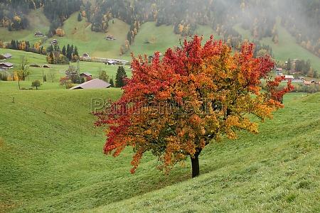 pear tree in autumn