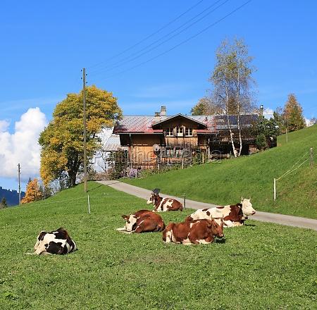 resting herd of cows autumn scene