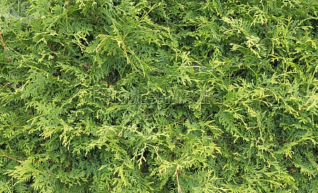 green hedge of thuja trees green