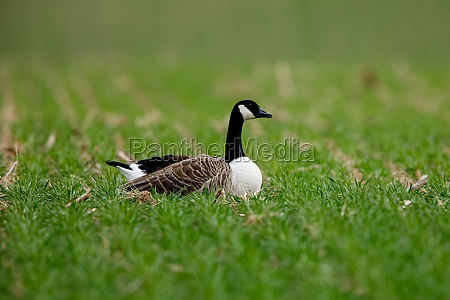 a canada goose on a meadow