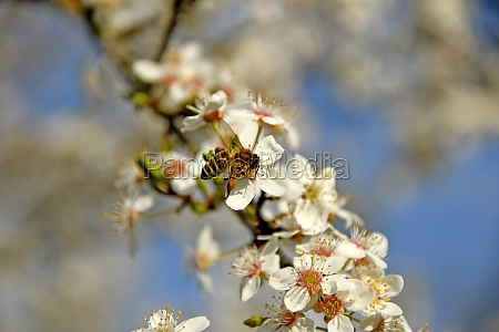 honey bee on wild mirabelle blossom