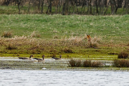a red fox is hunting geese