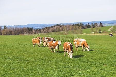 organic farming in austria cows are