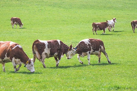 organic farming in austria happy cows