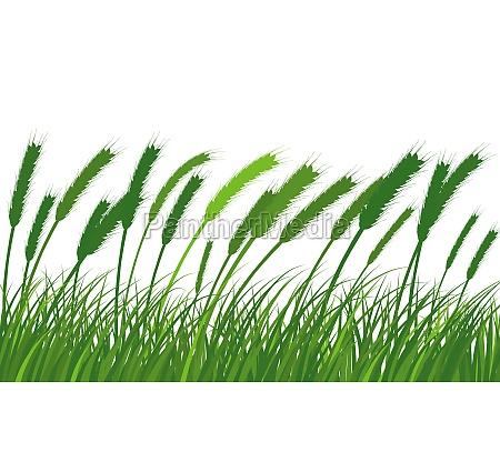wheat meadow grass