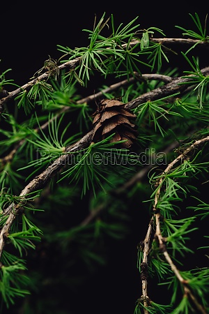 background of spring larch branches