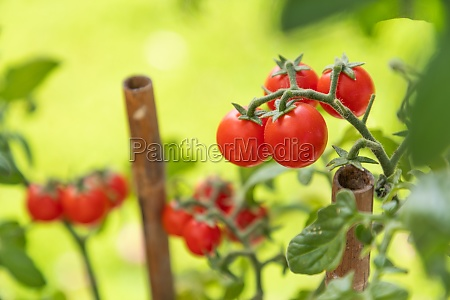 ripe cherry tomatoes on the vine