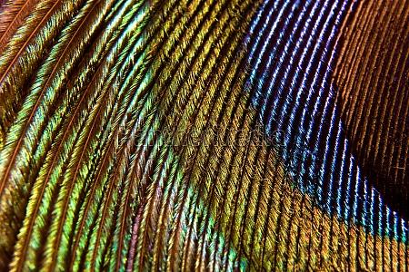 peacock rainbow