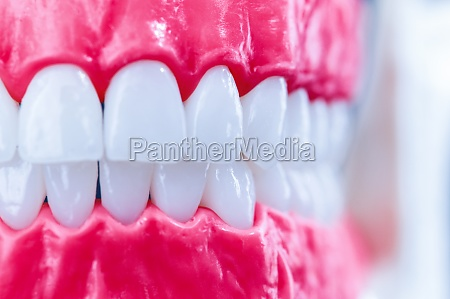 human jaw with teeth and gums