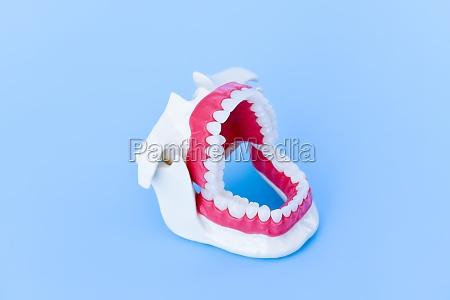 dentist orthodontic teeth model