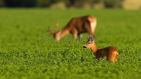 roe deer and red deer grazing