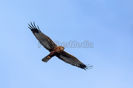 marsh harrier birds of prey europe