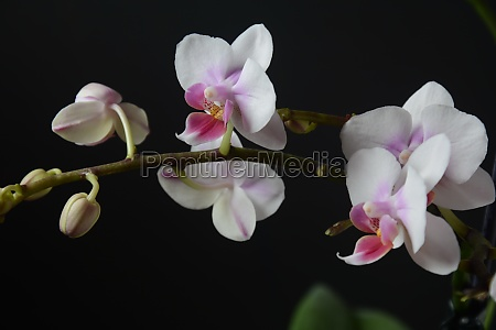 white with pink orchid branches
