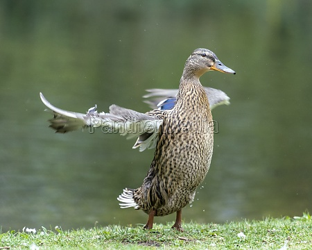 a duck romps in the water