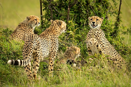 cheetah coalition sits and stands by