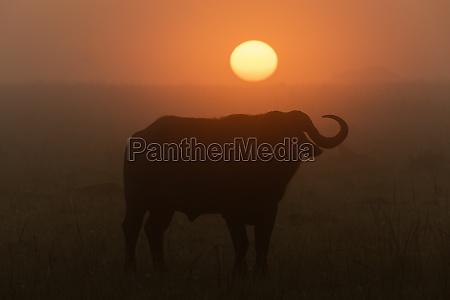 cape buffalo silhouetted before misty rising